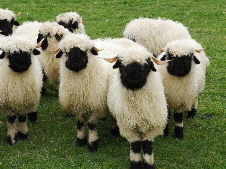 В Швейцарии живут самые очаровательные овцы в мире