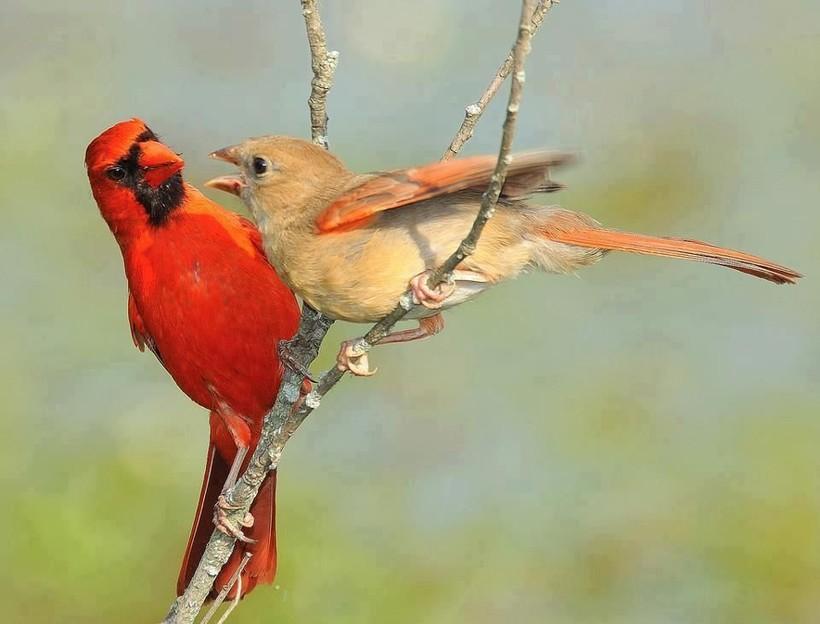 Птица из Angry Birds реально существует, и она еще более отчаянная и бесстрашная