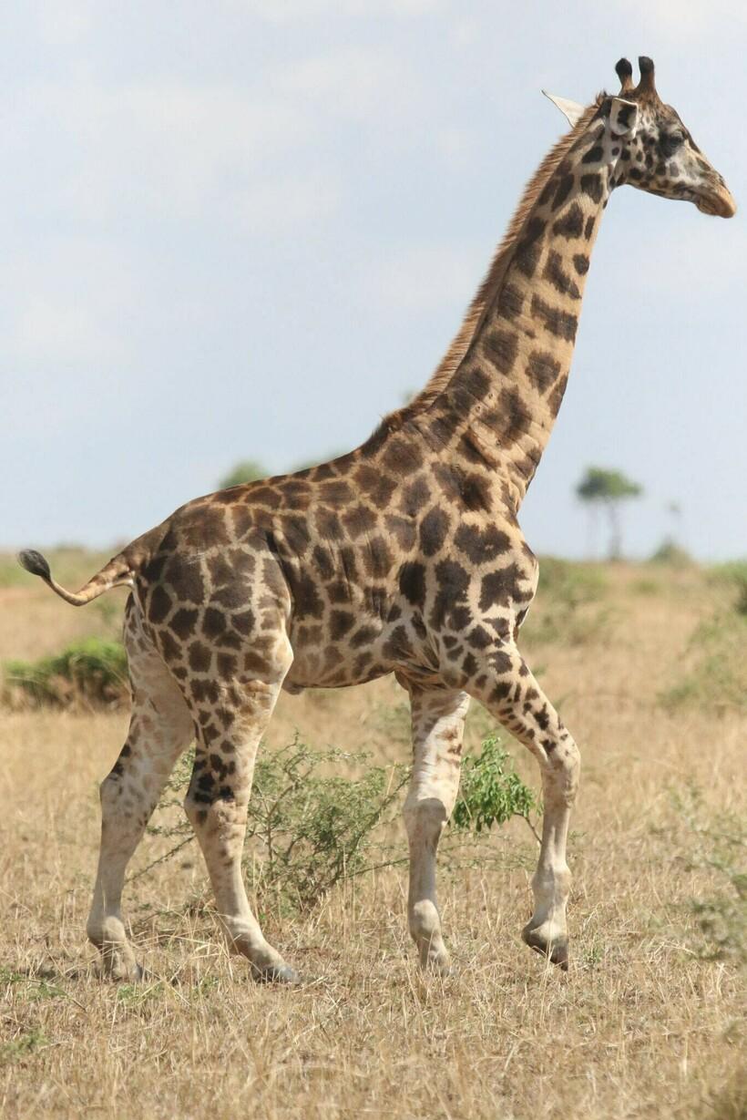 Взрослый жираф маленького роста, которого обнаружили на территории Уганды