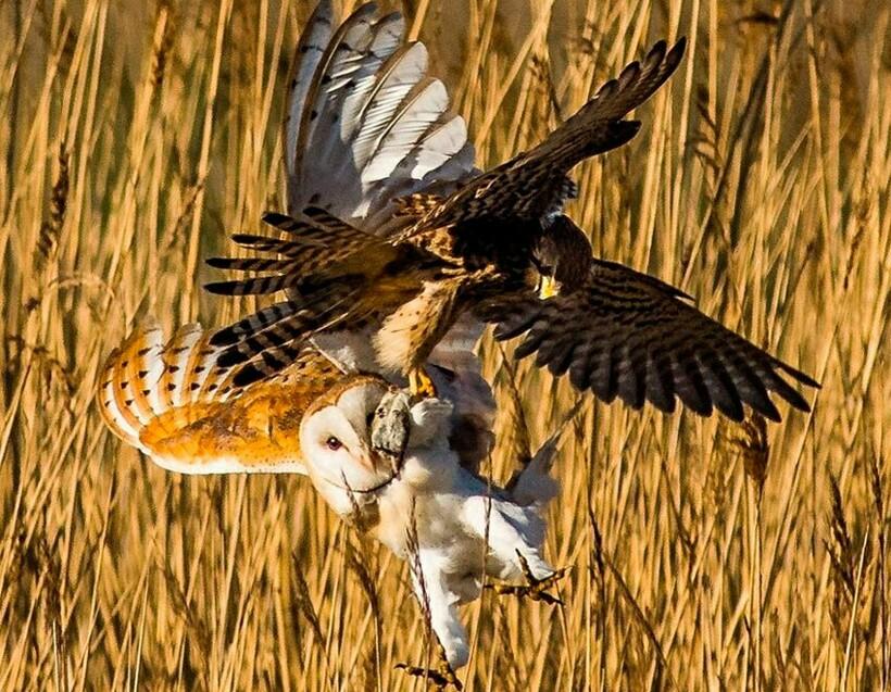 Ястреб и сова — враги
