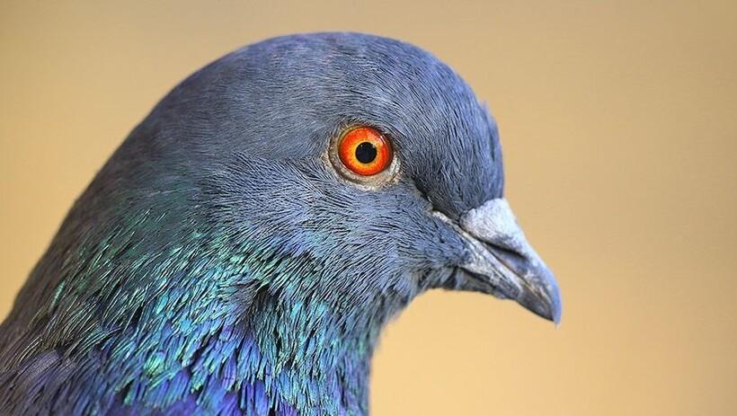 Фото головы голубя