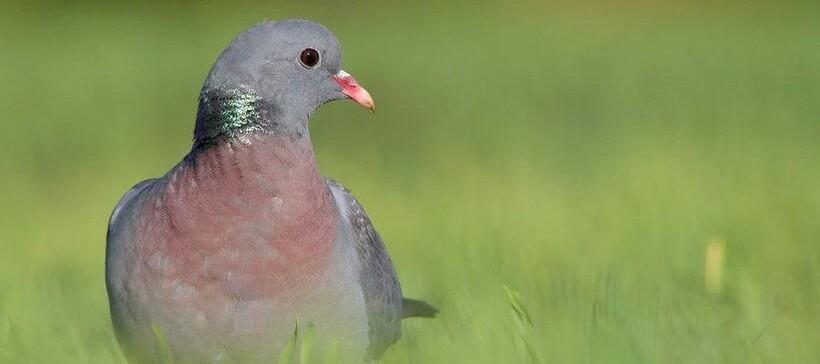 Мигрирующий вид голубя