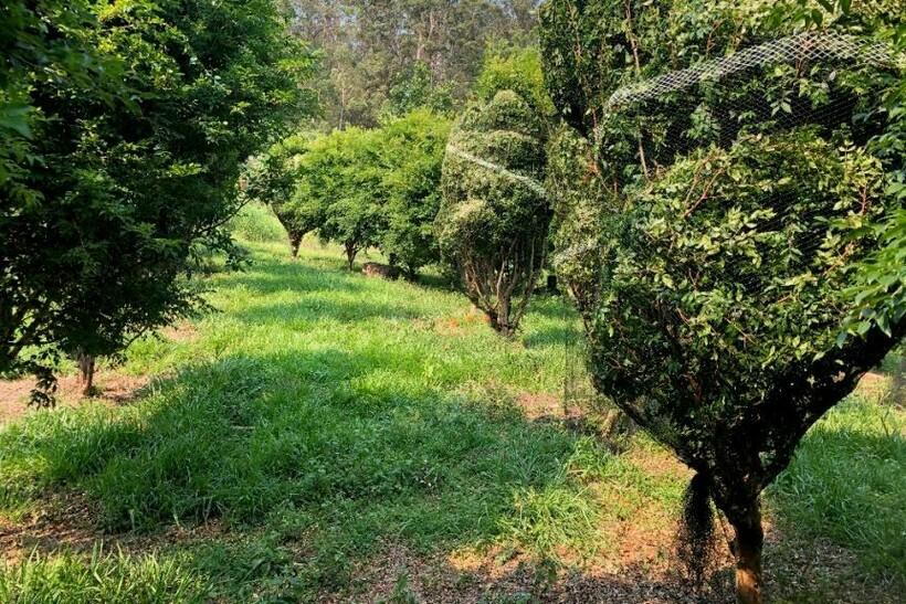 Молодые деревья джаботикабы