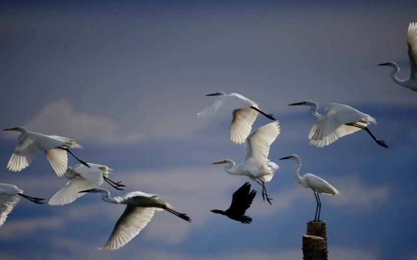 Летящие цапли
