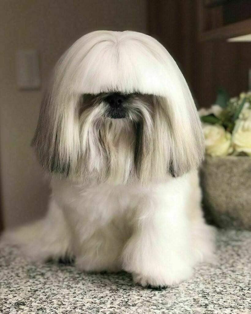 19 фото собачки из Японии, которая выглядит как поп-звезда