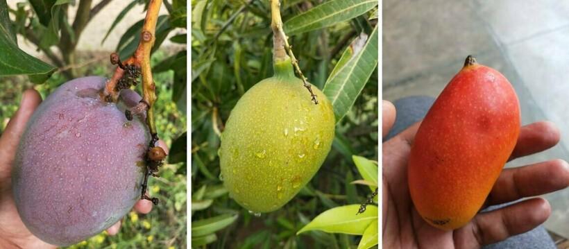Разные сорта одного фрукта, собранные на одном дереве