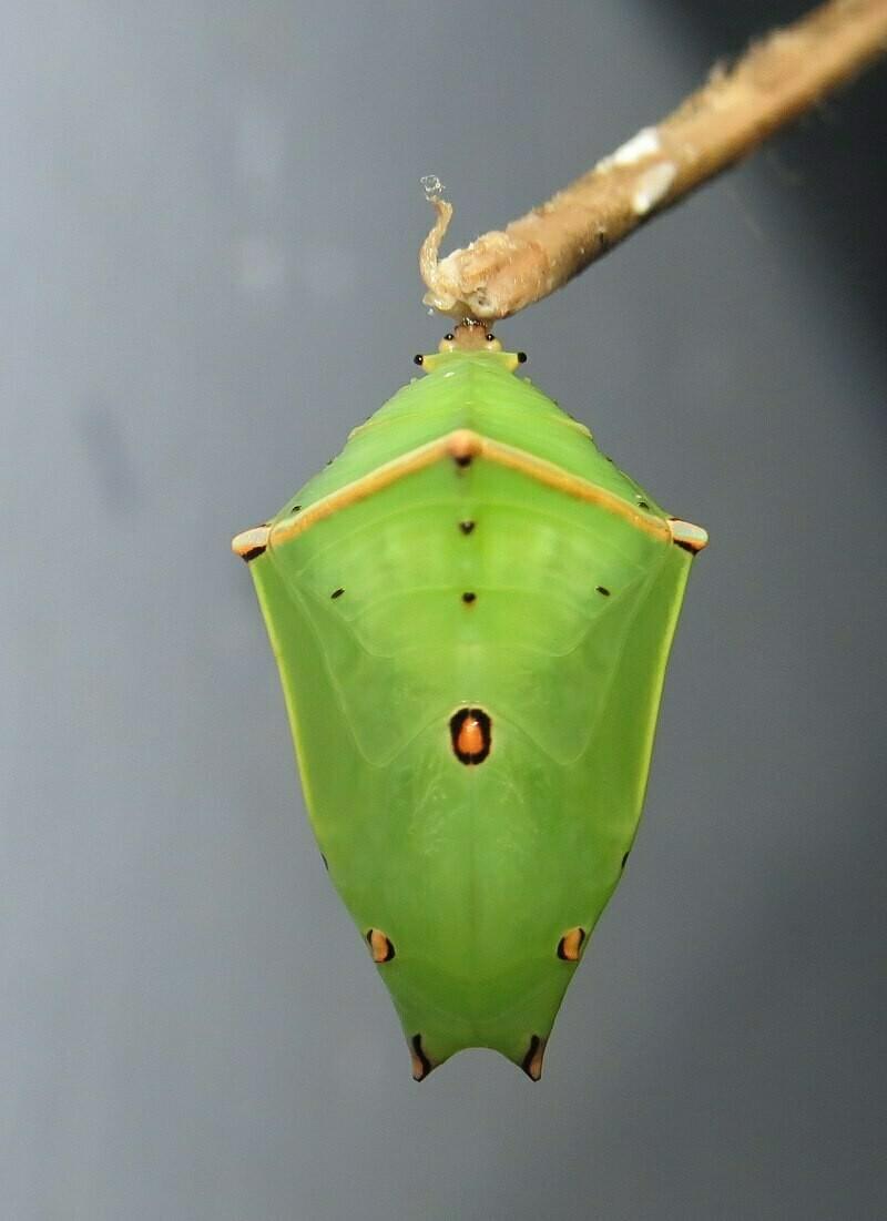 Куколка гусеницы, где «растет» бабочка