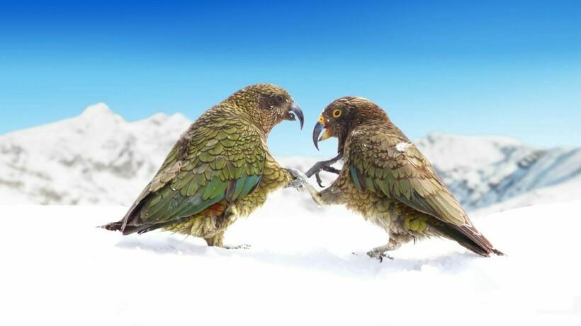 Единственный попугай на земном шаре, который поселился в горах и который любит снег