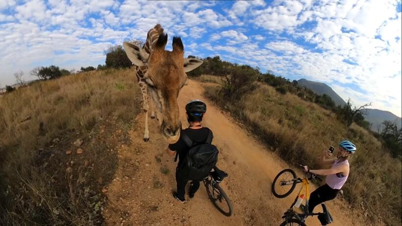 Видео: Огромный жираф остановил велосипедиста и принялся тщательно его обнюхивать