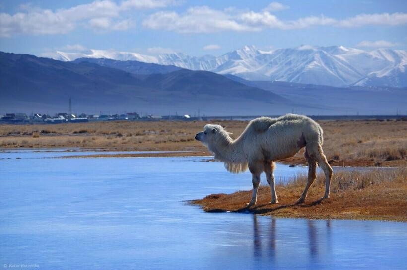 В селе разводят даже верблюдов. Фото: krasivosti.pro