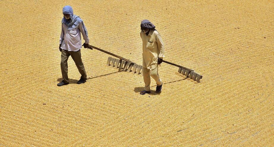 Фото дня: кукурузные зерна сушатся под солнцем