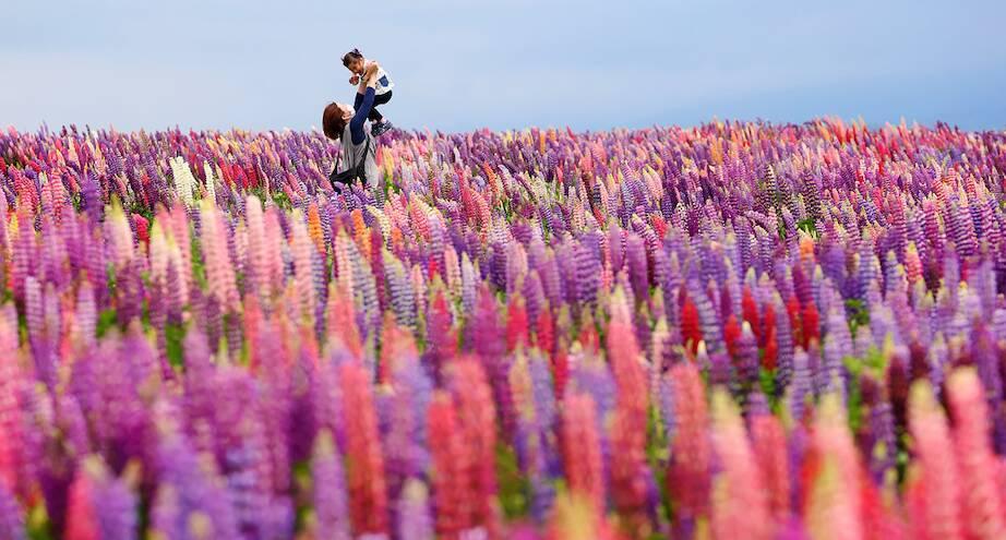 Фото дня: поле люпинов в Японии