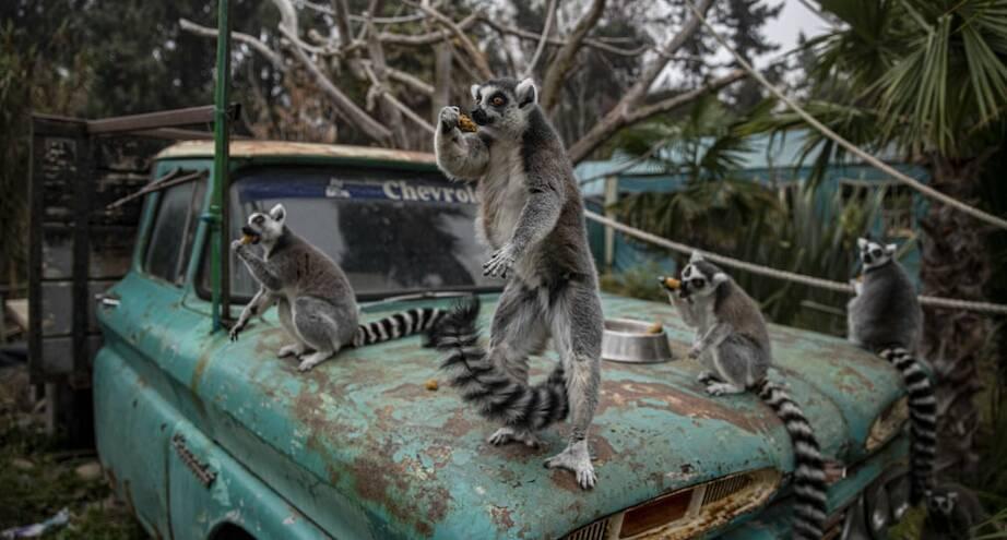 Фото дня: кольцехвостые лемуры в чилийском зоопарке